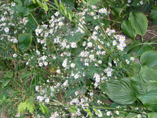 St catharines summer flowers the lone coder pegasoft canada the panicled aster has small white flowers with yellow centers the stems are not hairy and dead leaves will curl there are several species of asters that mightylinksfo
